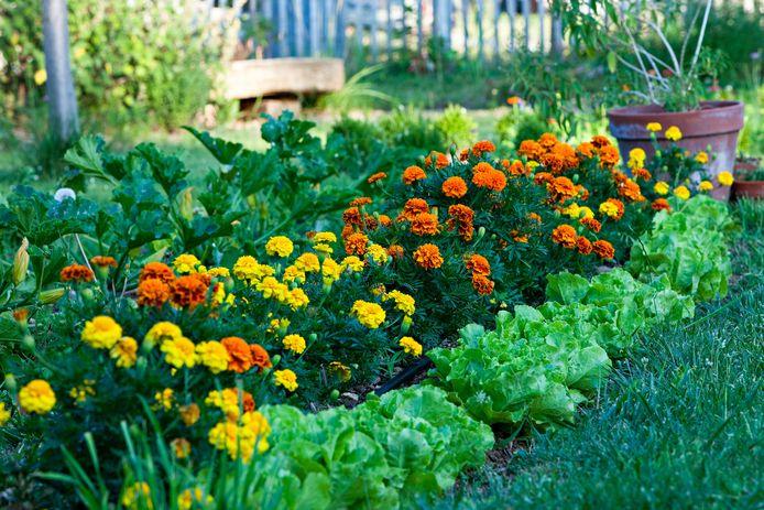 Afrikaantjes zijn fraaie kleurrijke bloemen en tegelijk effectieve natuurlijke bestrijders van schadelijke insecten en wormen.