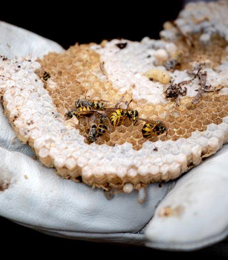 Het wemelt van de wespen door warm weer: 'Soms wel duizenden per nest'