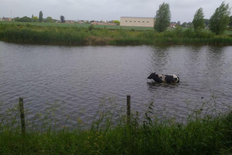Dorstige koeien zochten opnieuw de waterloop op aan de Drijdijk in Verrebroek.