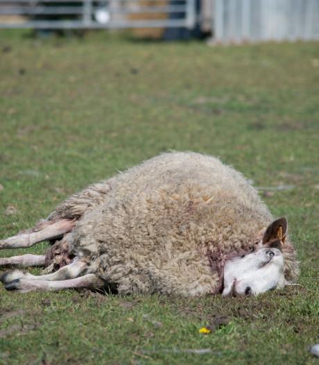 Six moutons sans doute tués par des loups dans le Limbourg