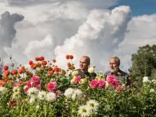 NK dahliakweken bij Wendezoele in Delden
