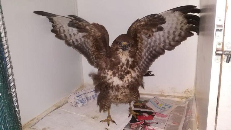 De overlevende buizerd herstelt nu in het Vogelopvangcentrum in Oostende.