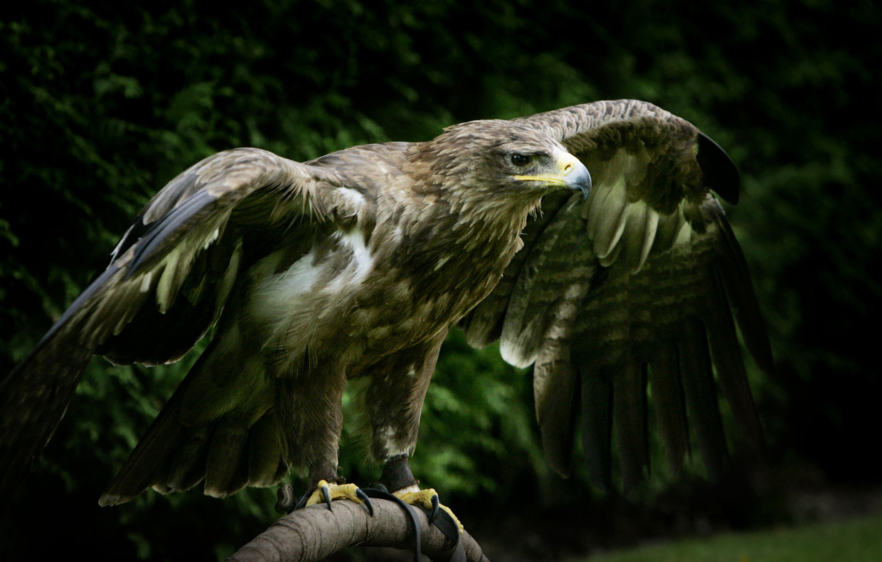 Steppearend in een roofvogelshow  in het Ecodrome in Zwolle.