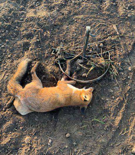 Vos loopt in verboden wildklem, boswachter verlost hem uit zijn lijden: 'Verschrikkelijk wrede daad'