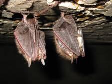Vleermuizen in slooppand: zo verhuis je deze honkvaste dieren