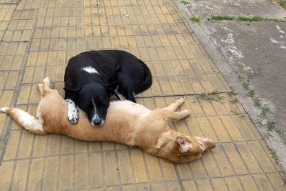 VIDEO: Hond wordt aangereden en sterft. Zijn trouwe vriend wijkt urenlang niet van zijn zijde