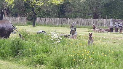 Nieuwsgierige wallaby gaat op bezoek in beeldentuin