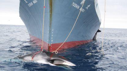 Japan wil weer op walvisjacht en overweegt uit Internationale Walviscommissie te stappen