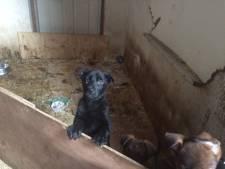 Cel geëist tegen fokker uit IJzendijke wegens 25 verwaarloosde herdershonden
