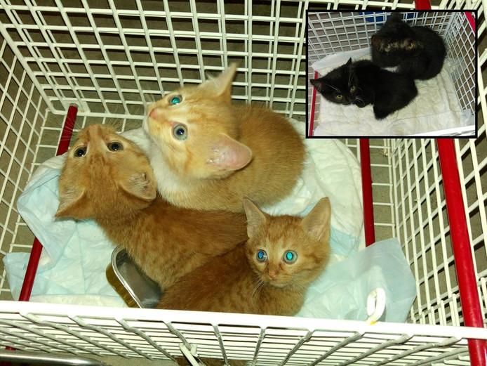 De drie rode en twee zwarte kittens (rechtsboven), die in een bos in Ruurlo zijn gevonden.