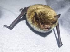 Dat is tof: zeldzame vleermuizen in... Zuidwijk!
