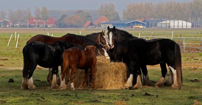Paarden genieten samen van hun lunch.