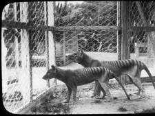 On le croyait disparu depuis 80 ans: le tigre de Tasmanie de retour?