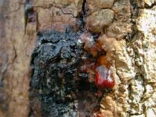 Minstens 83 zieke bomen Geldrop-Mierlo gekapt