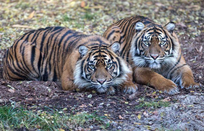 De twee tijgers van Koninklijke Burgers' Zoo die naar het Franse Maubeuge verkassen.