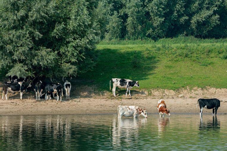 Koeien zoeken verkoeling in de schaduw van bomen in de rivier de IJssel. Beeld Nederlandse Freelancers