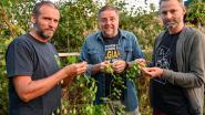 Vondeling aan Dender groeit uit tot nieuw hopras: vrienden brouwen bier met wilde, verdwenen hop