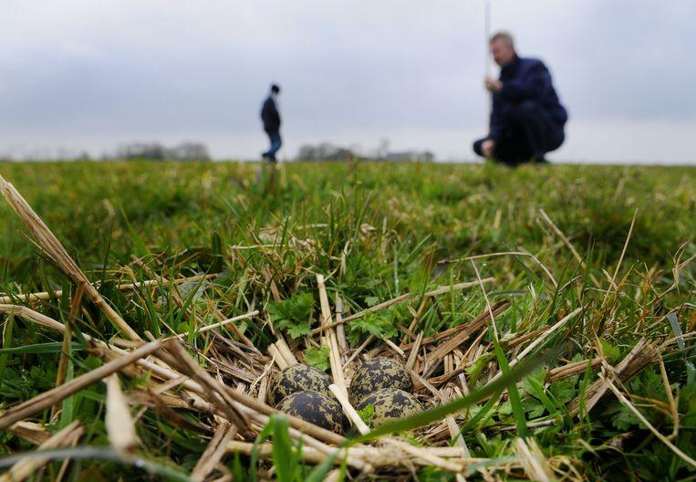 Vogelwachten markeren nesten zodat jonge weidevogels een grotere kans hebben om te overleven Beeld anp