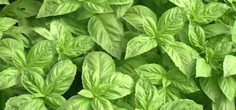 Tuiniertips: basilicum houdt van warme plek