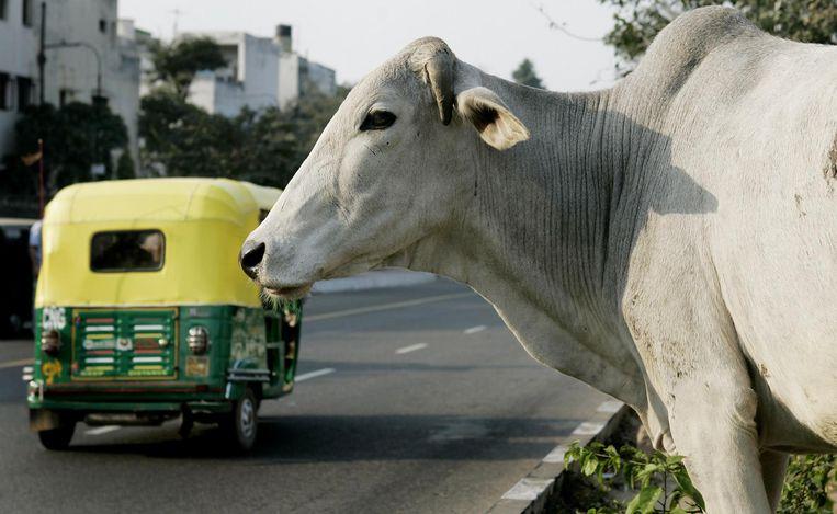 Een heilige koe op een vluchtheuvel in de straten van Dehli (India). Beeld ANP