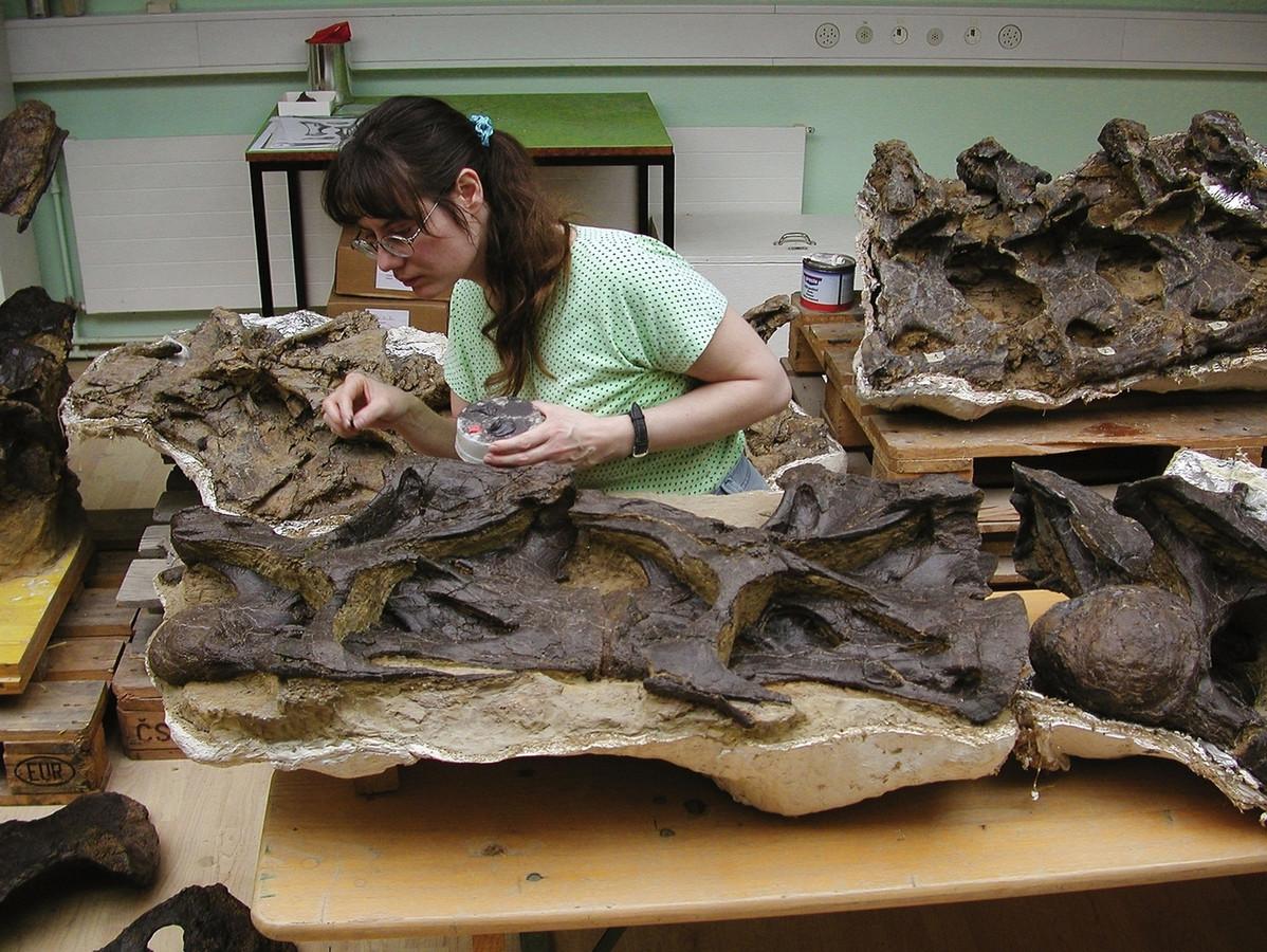 De botten van de Diplodocus liggen al in Boxtel