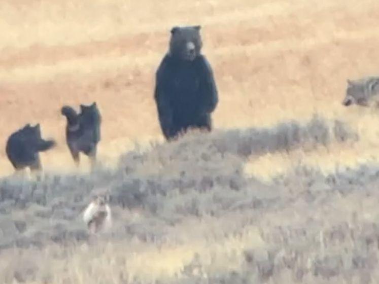 Unieke beelden van grizzly die het aan de stok krijgt met roedel wolven