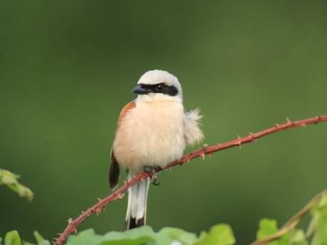 Zeldzaam vogeltje bereidt zich op geheime plek op de Utrechtse Heuvelrug voor op vlucht van 10.000 kilometer