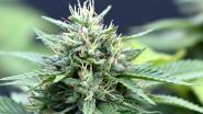 Twee jaar cel voor cannabisplantage in Heusden-Zolder