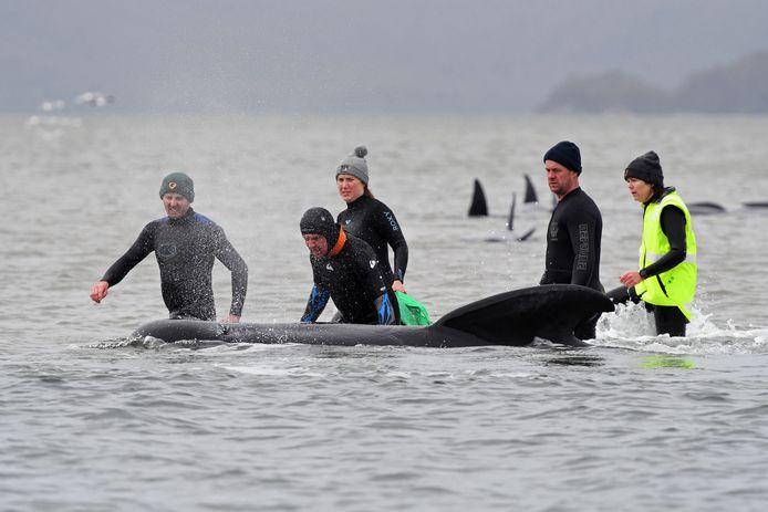Reddingswerkers proberen nog fitte dieren terug te brengen naar zee.