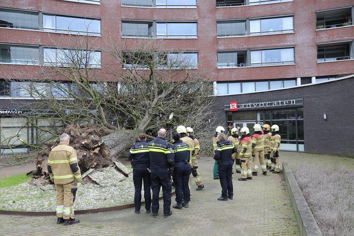 Storm Ciara werd deze monumentale boom aan de Ridderhof in Oss op 9 februari fataal.