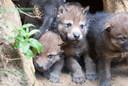 In juni vorig jaar werden in DierenPark Amersfoort vier wolvenwelpjes geboren