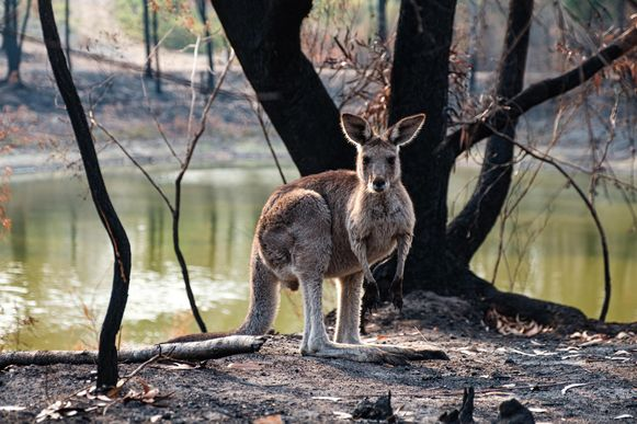 Kangoeroes drinken in dit afgebrande bos aan een waterreservoir.