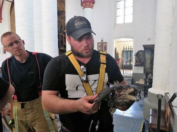 Mathieu Helleputte van het Natuurhulpcentrum brengt het dode dier mee naar beneden