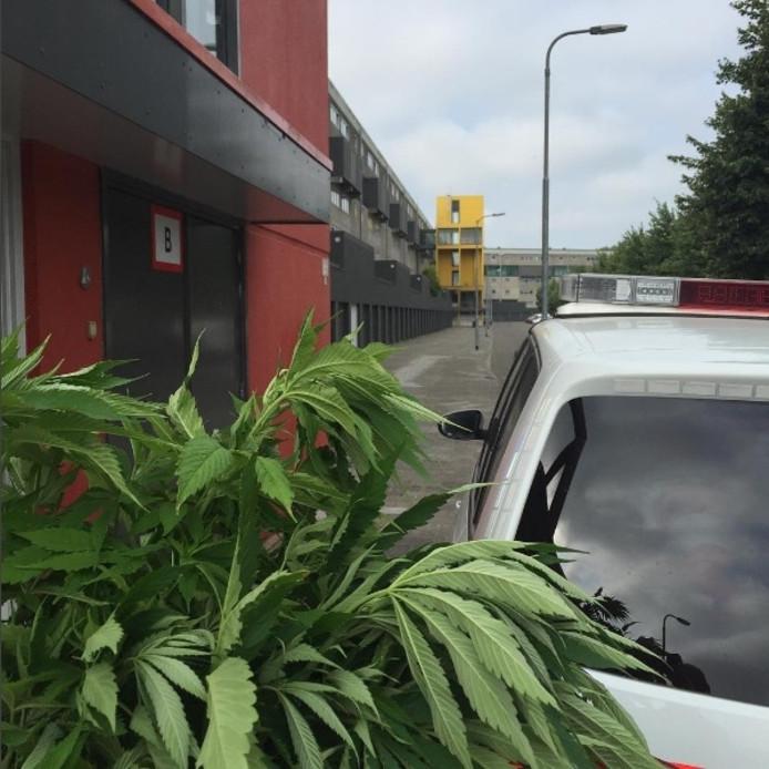De hennepplantjes van het balkon die de politie in beslag nam.