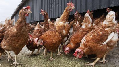 Gemeente biedt kippen te koop aan voor inwoners