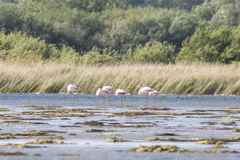 Flamingo's in het Veerse Meer.