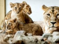 Speelse leeuwenwelpjes verkennen nieuwsgierig hun verblijf in Blijdorp