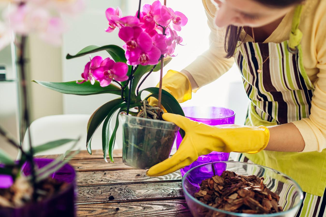 De orchidee is een populaire bloem voor in de woonkamer.