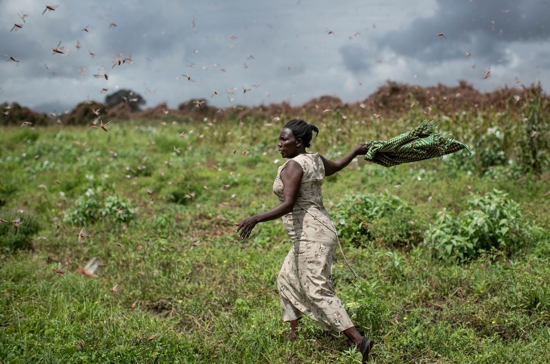 Een vrouw probeert met een deken de sprinkhanen weg te jagen.