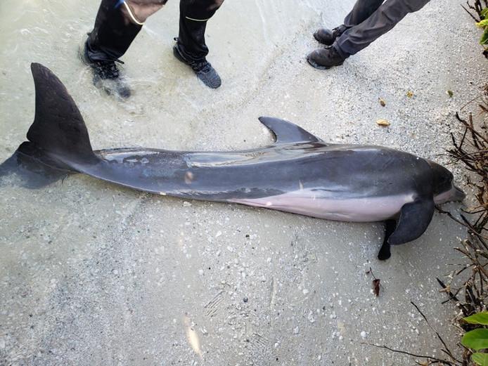 De dolfijn die aanspoelde op het strand van Fort Myers Beach, Florida.