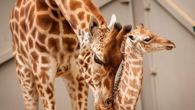 De beelden van de bevalling van giraffe Magara trokken zelfs tot in de Verenigde Staten kijkers.